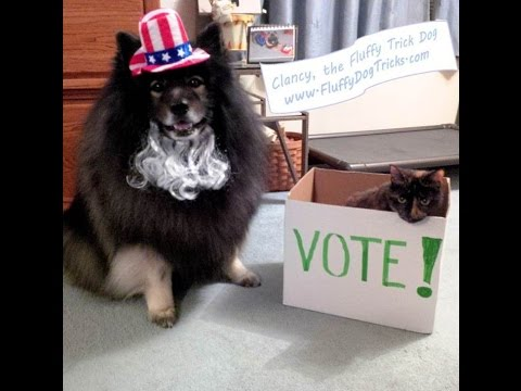 Cute Fluffy Dog says Go VOTE, America! - Clancy the Keeshond