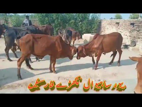 pure-sahiwal-k-bachre-for-sale-hain