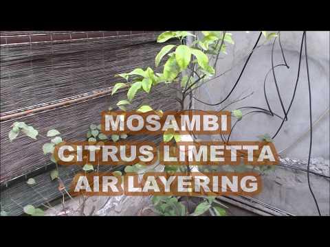 MOSAMBI CITRUS LIMETTA AIR LAYERING