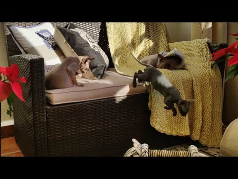 Home - Full Of Sphynx Cats / DonSphynx