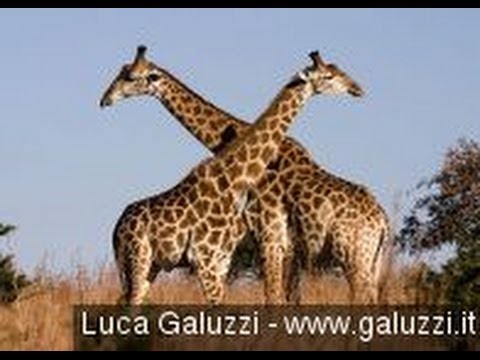 Second Danish Zoo Says It Won't Kill Healthy Giraffe