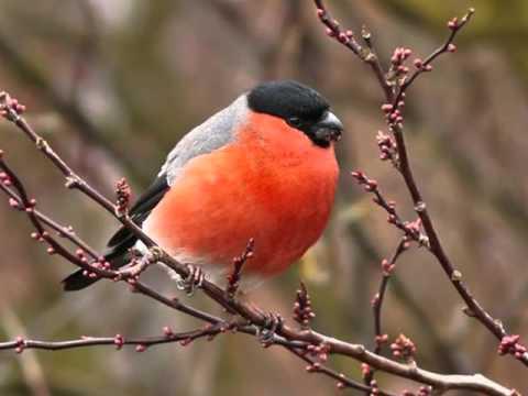 Аудиоэнциклопедия. Городские птицы - снегири. обучающее видео, развивающее видео