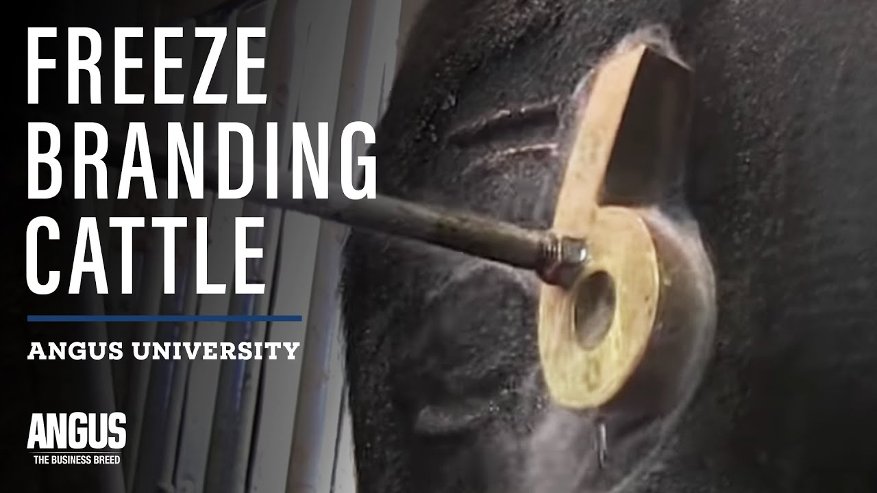 Freeze Branding Cattle Youtube