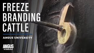 Freeze branding cattle