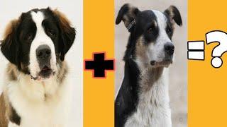 St. Bernard + street dog mix ka puppy (result)