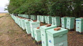 Довольный заказчик 120 пчелосемей на точке