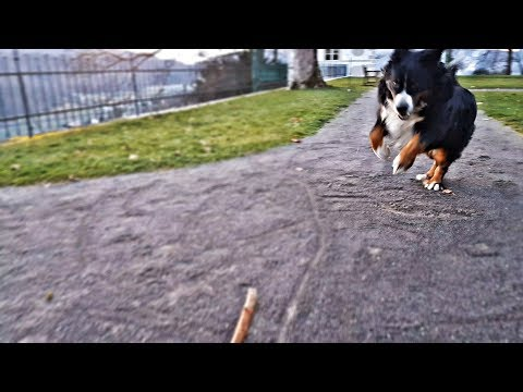 Bernese Mountain dog and a Stick