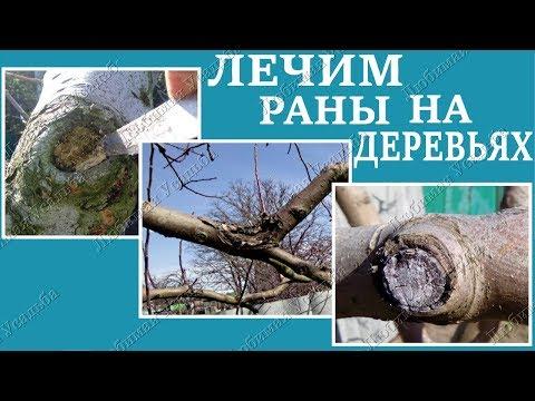 Как лечить раны на плодовых  деревьях. Лечение запущенных ран на яблоне и на  груше