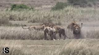 4 male lions versus 1 male lion