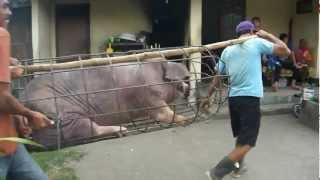 豚が売られていきます.