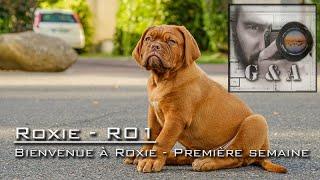 Bienvenue à Roxie bébé Dogue de Bordeaux [ROXIE]