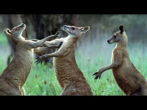 Kangaroos Fight For A Mate | Life Of Mammals | BBC Earth