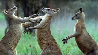 Kangaroos Fight For A Mate - Life Of Mammals - BBC Earth thumbnail