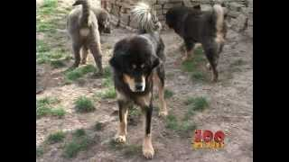 Tibetski mastif