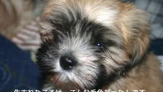 ラサ・アプソという犬種をご存知ですか? 面白いですよ!
