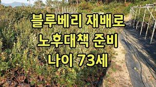 노후대책, 블루베리 재배, 단일 품종 메도우락  재배