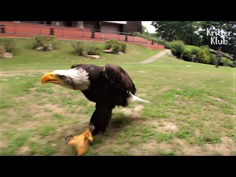 Bald Eagle Fond Of Walking Thinks Hunting Is Too Savage | Kritter Klub