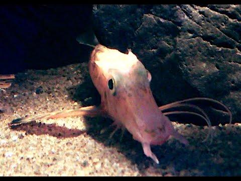 ハナナガソコホウボウ Longnose Gurnard Pterygotrigla Macrorhynchus