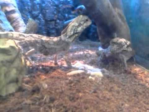 Frill neck lizards eating mealworms