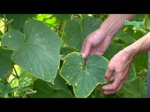 Желтеют листья у огурцов!! Срочно применяйте эти подкормки!