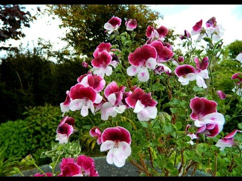 Quantock Pelargoniums A Surprise Youtube
