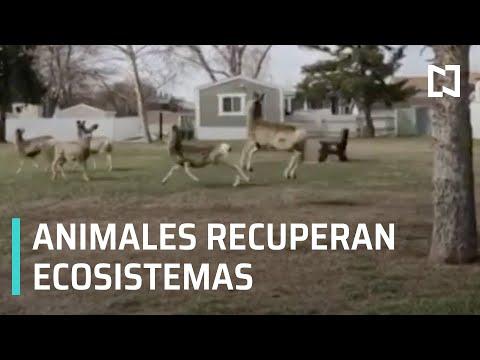 Coronavirus: Animales recuperan ecosistemas por reducción de actividad humana - Las Noticias