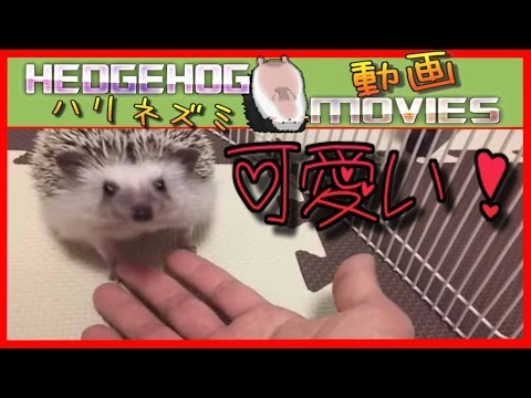 ハリネズミってこんなにも可愛いよ!Hedgehog