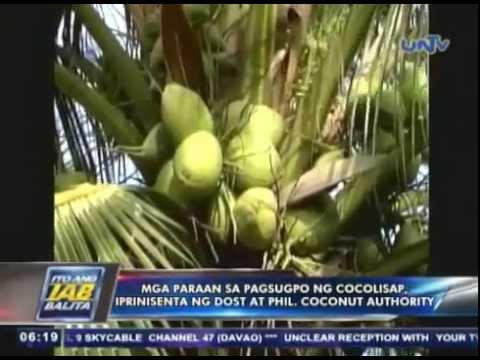 Mga paraan sa pagsugpo ng cocolisap, iprenesenta ng DOST at Philippine Coconut Authority