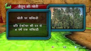 जैतून(Olive) की खेती को बढ़ावा देने की कोशिश   100 % तक का अनुदान   Rajasthan सरकार की कोशिश