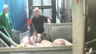 German version: Pig slaughter- comparison of different stunning methods used