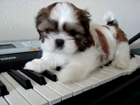 The Cutest Puppy Shih Tzu Youtube