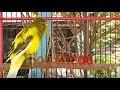 Suara Burung Kenari Langsung Nyaut Jernih Tanpa Berhenti  Mp3 - Mp4 Download