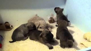 """Cairn Terrier Welpen """" Vom Farbenspiel """" 3. Woche 2. Teil ( Mit Musik )"""