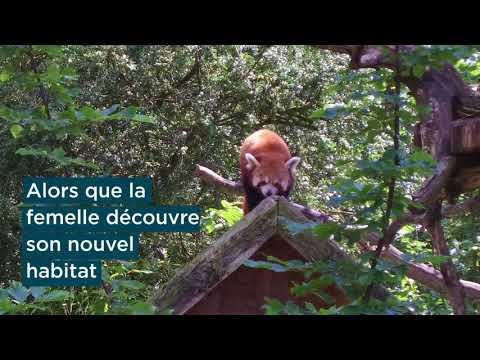 Arrivée d'une femelle panda roux au parc de Clères