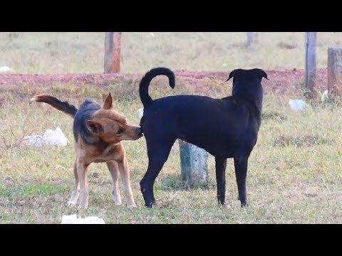 SummerDogs!! Cambodia Carolina Dog Meeting Old English Sheepdog In Khnar Village