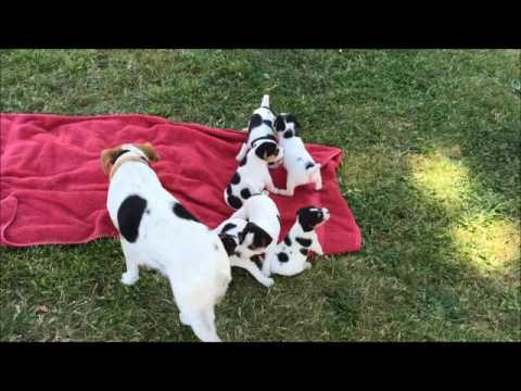 Jack Russell Terrier Puppies - first time outside