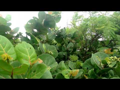 Common Dune Plants Florida West Coast St Pete Beach In