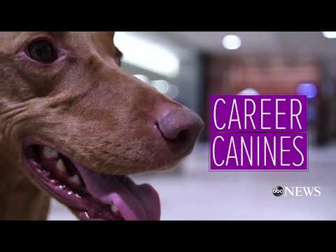 TSA dog uses expert sniffing skills to detect bombs - 'Career Canines' S1 E4