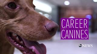 TSA dog uses expert sniffing skills to detect bombs  'Career Canines' S1 E4