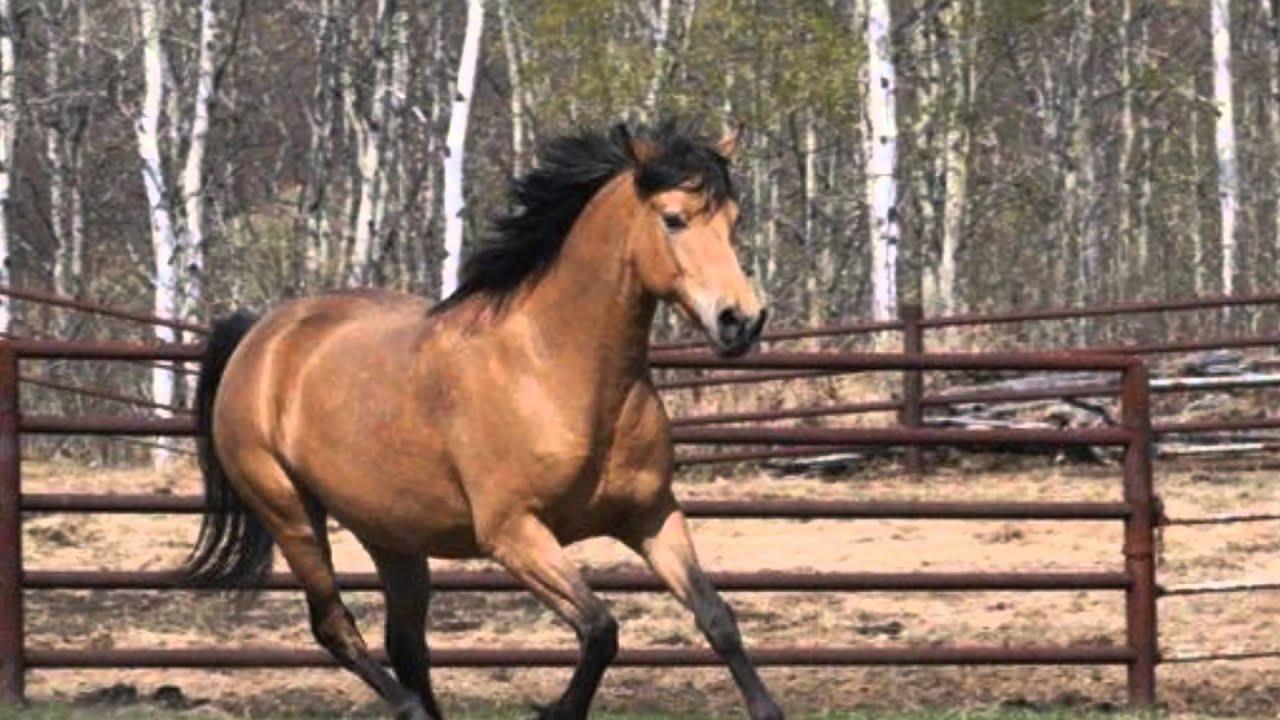 Buckskin Horse - YouTube