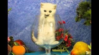 Британский котенок Генератор Идей, новые фото