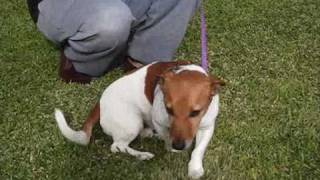 Dachshund X Jack Russell Dog Has Been Adopted