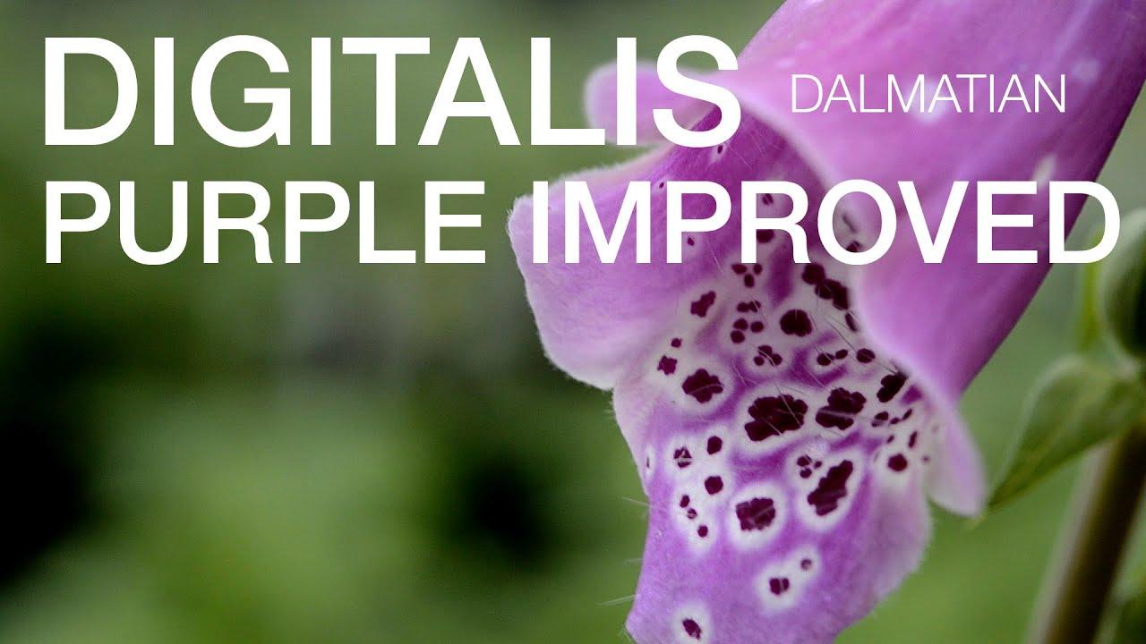 Digitalis Dalmation Purple Improved At Waysidegardens Com