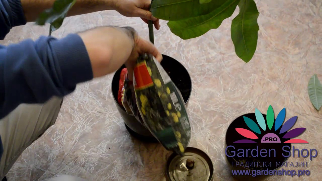 How to transplant a money tree 36