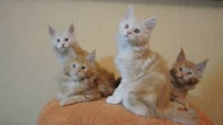 Свободны котята мейн кун  г.Липецк питомник Leader Forever