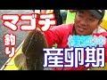 【横浜沖】マゴチ釣り  産卵期の厳しさ 鴨下丸