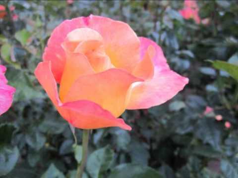 Jesus, Rose of Sharon