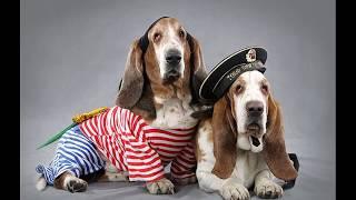 Бассет-хаунд (Basset Hound) - породы собак
