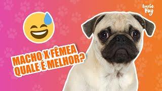 Pug macho ou Pug fêmea? Tem diferença?  | Amigo Pug