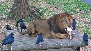カラスにとってはライオンの尻尾すらも遊び道具のようで・・・ (多摩動...